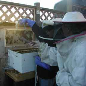 4-H girl opening hive
