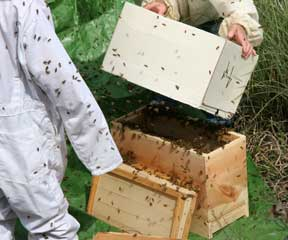 Dumping the swarm into the nucleus hive.