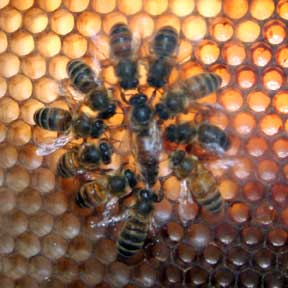 Queen surrounded by workers
